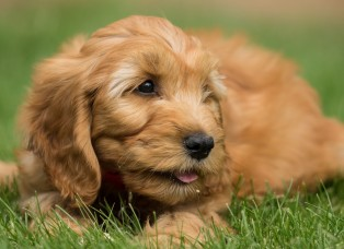 Pippa's Goldendoodle Puppies | Quality English Cream